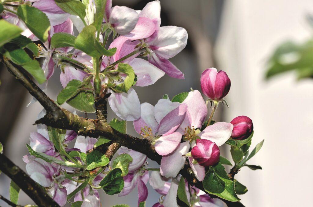 Appelbloesem als symbool voor de meivakantie